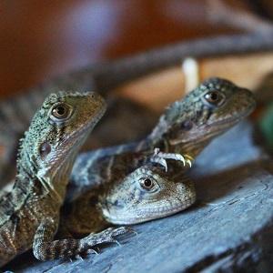 lizard-gang-300