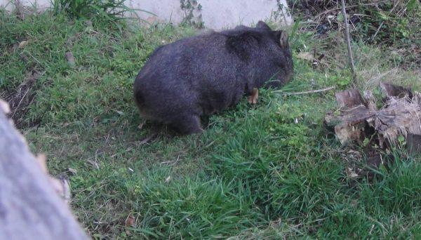 Wombat Victoria